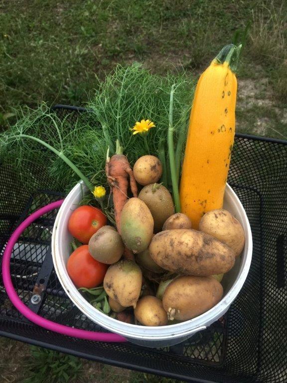 Eine Schüssel voll mit frischem Gemüse aus dem Garten: Kartoffeln, eine gelbe Zucchini, Tomaten und Dill.