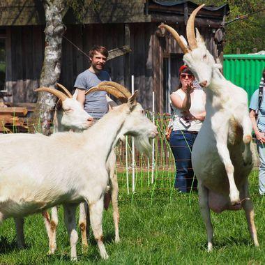 3 Ziegen springen freudig auf der Weide, Im Hintergrund 3 Menschen die ihnen zusehen und Bauernhofgebäude.